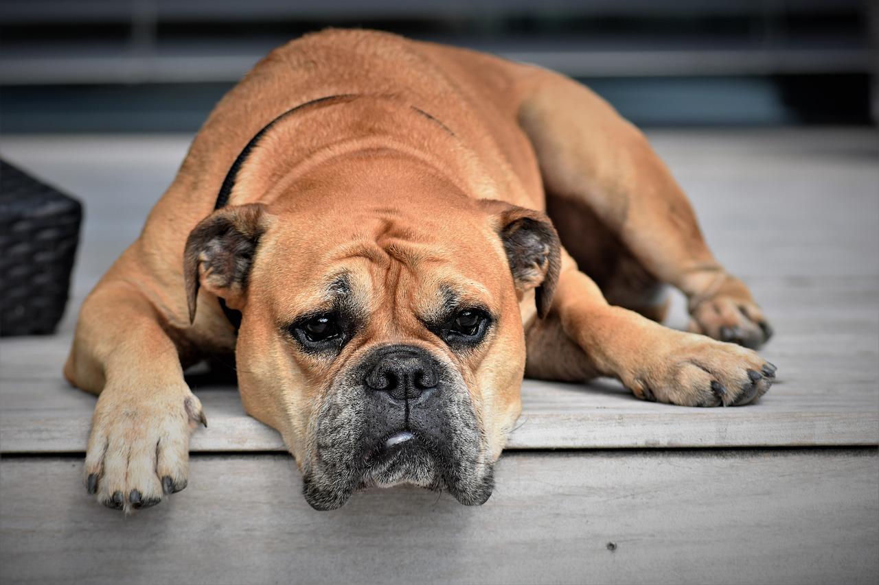 tratamientos-antipulgas-perros