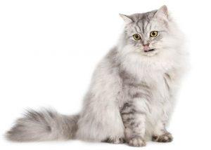 identificación en gatos