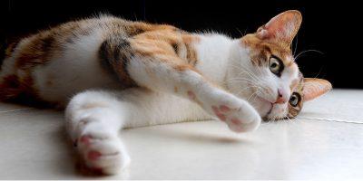 vacunas-gato-adulto